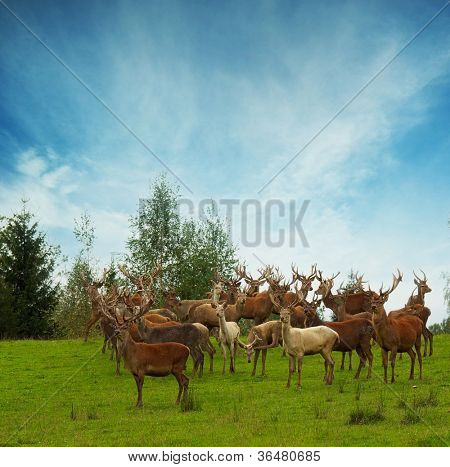 Deer flock in natural habitat