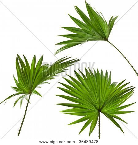 green palm leaves (Livistona Rotundifolia palm tree)  isolated