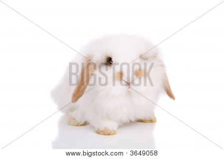 Lopeared Bunny