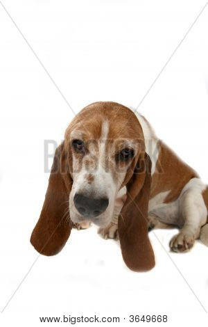 Basset Hound'S Long Ears And Head