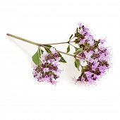 Flowering Oregano or Marjoram Herb (origanum majorana ) isolated on white