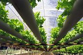 stock photo of hydroponics  - hydroponic plantation - JPG
