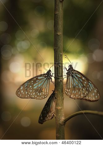 Common Crow Migratory Butterflies With Background Bokeh