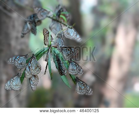 Common Indian Crow Migratory Butterflies Resting On A Branch