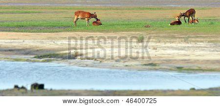 Sika deers
