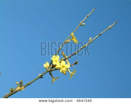 Jasmine Against The Sky
