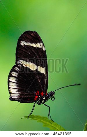 Heliconius longwing butterfly