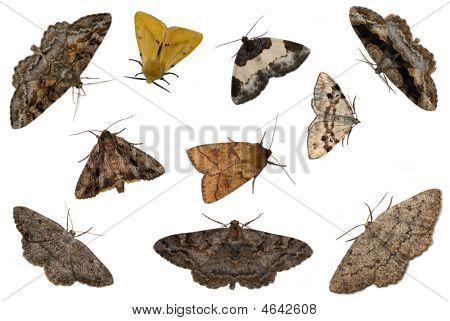 Mixed Moths