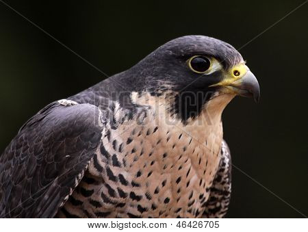 Peregrine Falcon Face