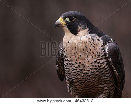 Single Peregrine Falcon