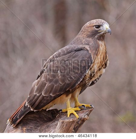 Posed Red-tailed Hawk