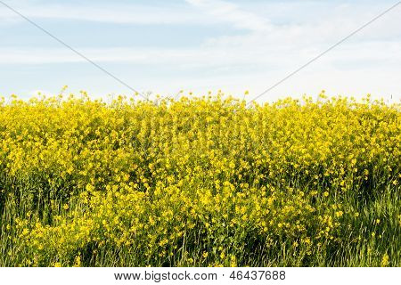 Meadow With Brassica Napus (rapeseed) To Produce Biodiesel