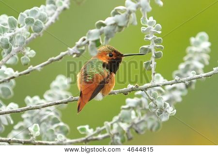 Rufous Hummingbird Perched
