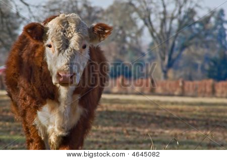 Young Cow Standing In Pasture