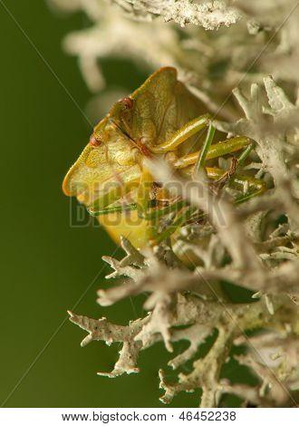 Palomena prasina