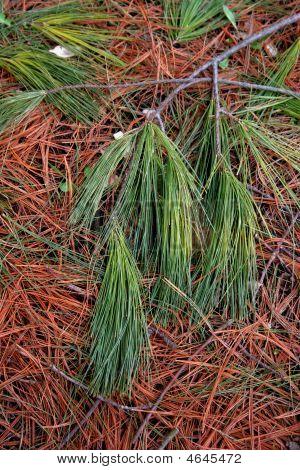 Green Pine Needles
