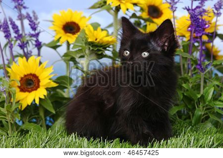 Black Kitten in the Garden With Sunflowers and Salvia