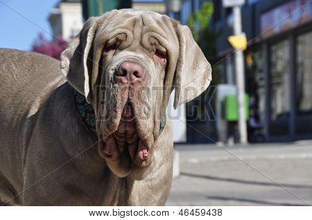 Neapolitan Mastiff 2
