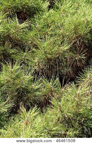 The texture of the needles of pine tree