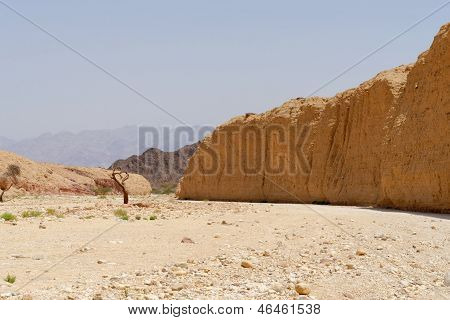 Acacia tree trunk in the desert near Eilat Israel