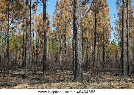 Burned Pines