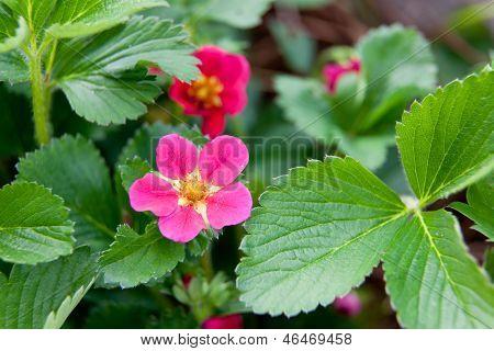 Floración de fresa
