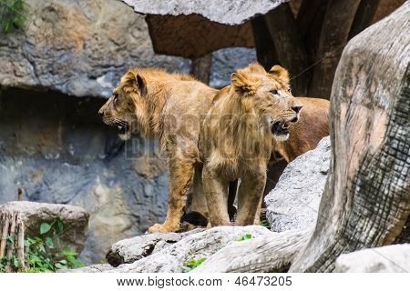 Two Lion In Chiangmai Zoo , Thailand