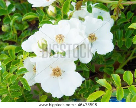 Flowers Of Wild Rose