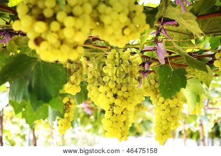 Hanging Green Grape At Farm