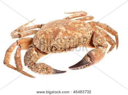 Edible Shore Crab Covered With Sea Molluscs Isolated On White