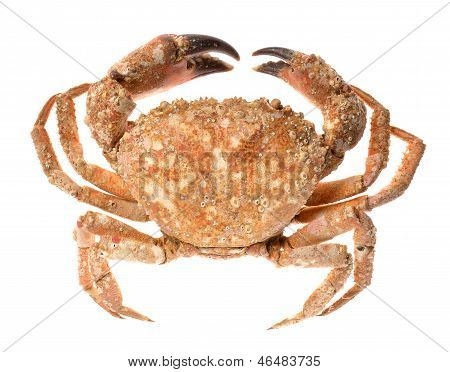 Edible shore crab isolated on white