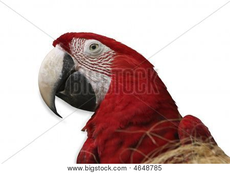 Parrot On White Background