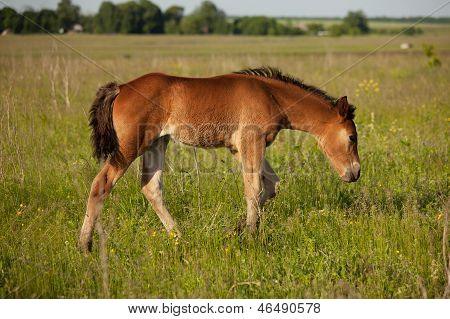 Foal Walks Across The Field And Eat Grass