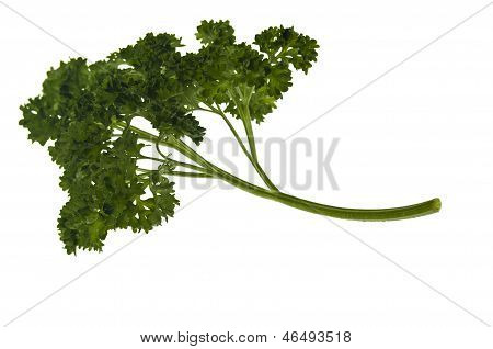 Curly Parsley Leaves