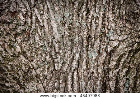 Oak Tree Bark Background