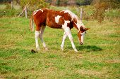 stock photo of shire horse  - Young nice white and brown Mustang horse - JPG