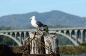 image of rogue  - Western Gull Larus occidentalis on a pier in Gold Beach Oregon - JPG