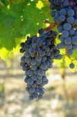 image of yakima  - Lush grapes are harvest ready heavy on the vine in the Yakima Valley in Eastern Washington state - JPG