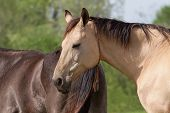 stock photo of buckskin  - Shot of an Akhal Teke horse sleeping outdoors - JPG