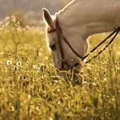 picture of horses eating  - White horse eating grass on the meadow