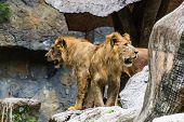 Постер, плакат: Два льва в Чиангмае зоопарк Таиланд