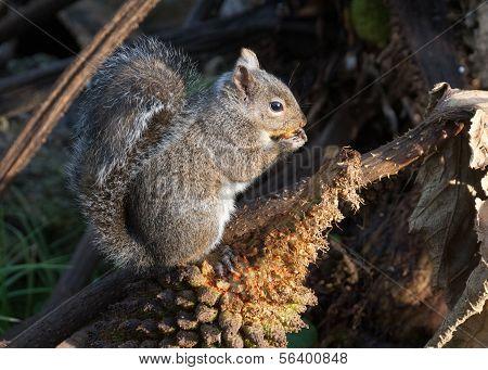 Gray Squirrel Nibbles Chilean Rhubarb