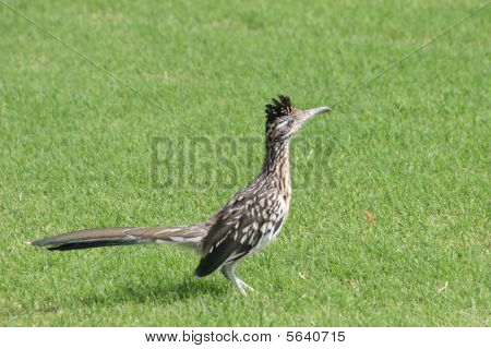 Roadrunner in grass