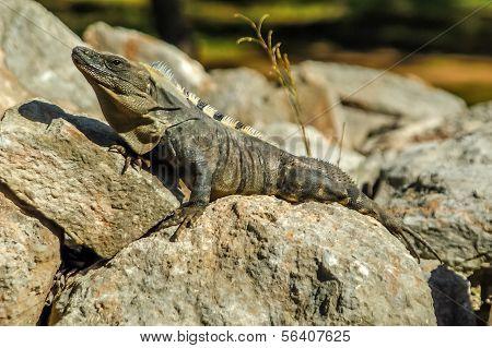 Iguana At The Sun