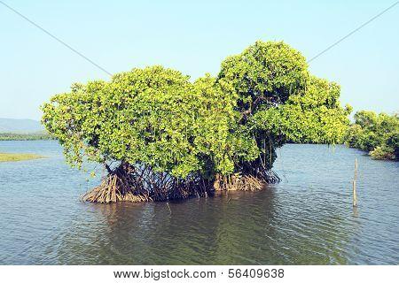 Green Mangrove Tree In The Lake