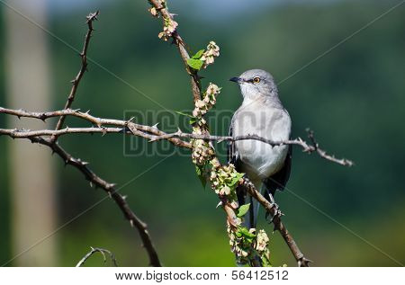 Northern Mockingbird Perched In A Tree
