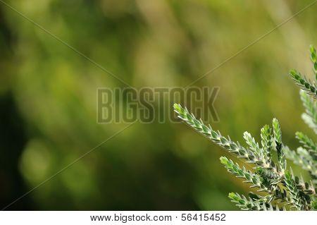 Regelia Velutina Foliage