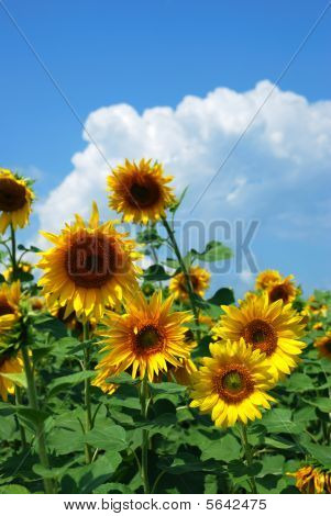 couple sunflowers background