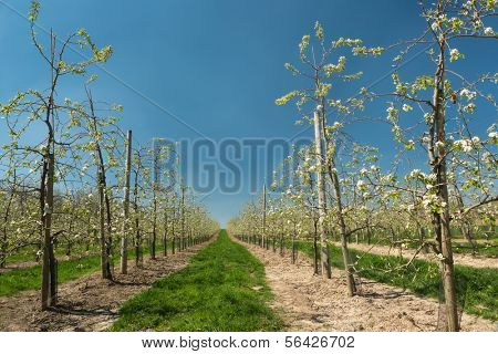Endless rows of young pear trees in full bloom in the famous Flemish fruit region in Belgium near St. Truiden