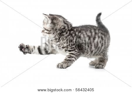 catching british gray kitten with paw up